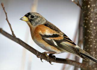 Птица вьюрок - фото