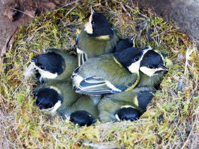 Размножаются ли синицы в неволе фото