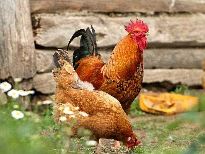 Размножение куриц фото