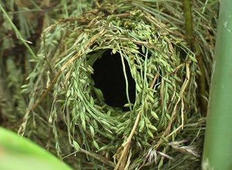 Гнездо астрильдов фото