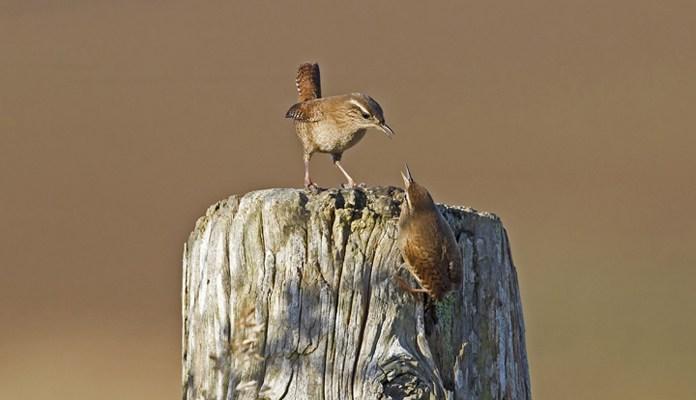 Самец и самка крапивника - фото