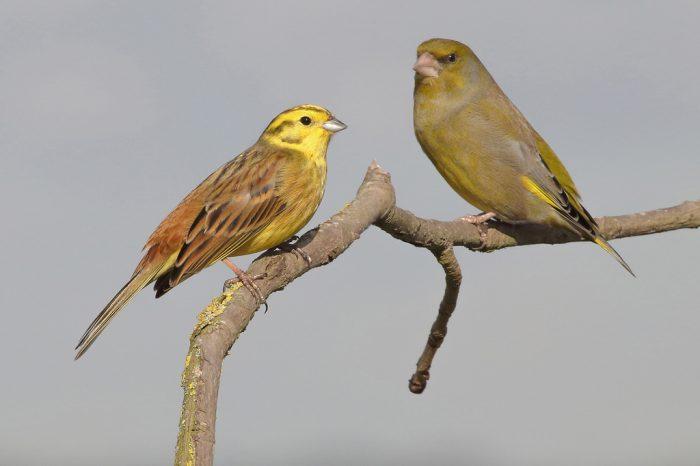 Самец и самка овсянки: основные отличия фото