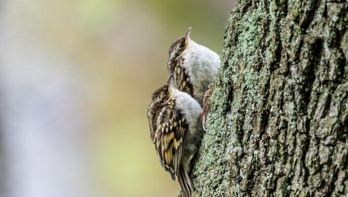 Самец и самка пищухи: основные отличия фото