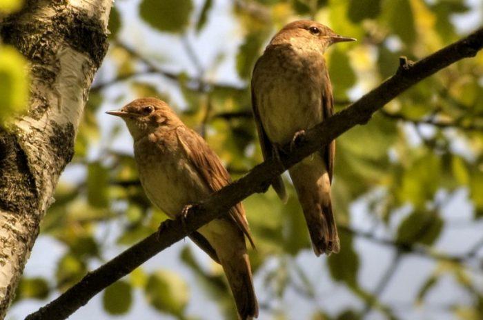 Самец и самка соловья: основные отличия фото