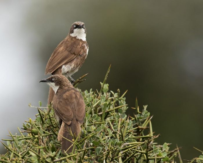 Самец и самка тимелии: основные отличия фото