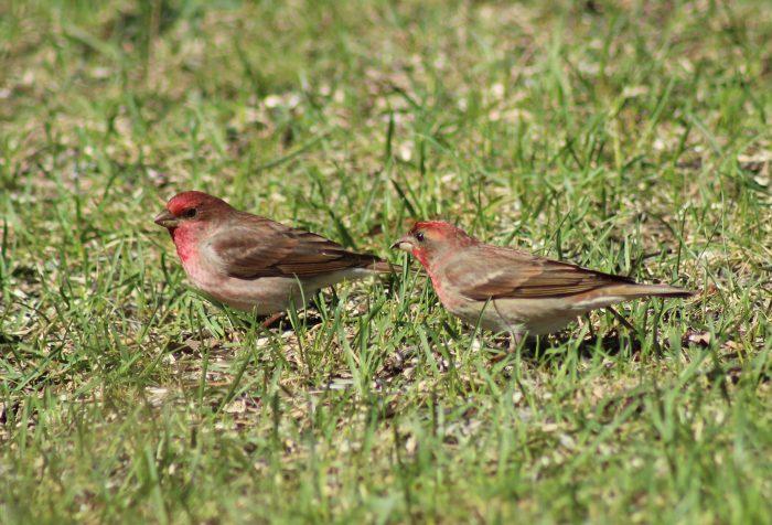 Самец и самка чечевицы: основные отличия фото