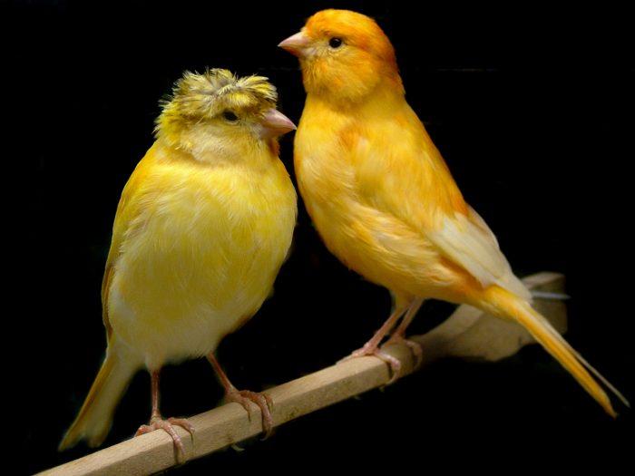 Самка и самец канарейки фото