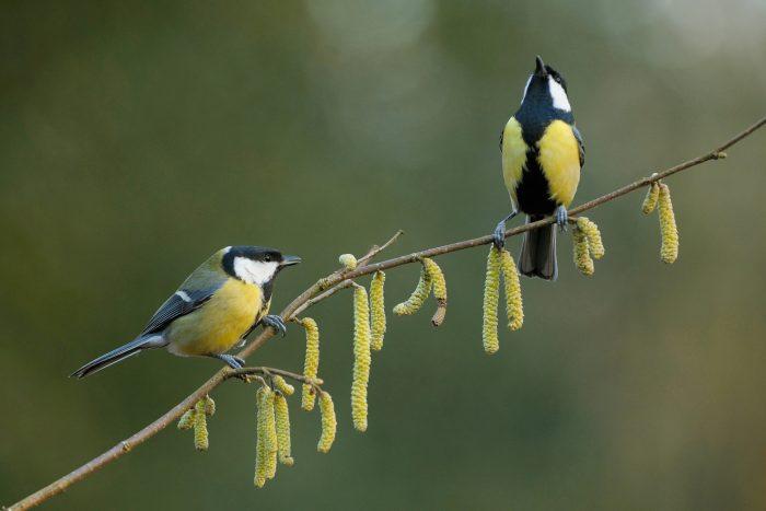 Самец и самка синицы: основные отличия фото