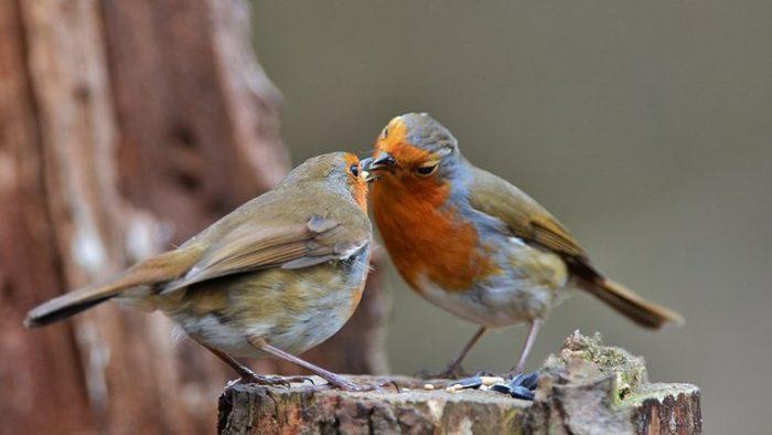 Самка и самец зарянки фото
