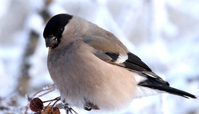 Серый снегирь - фото
