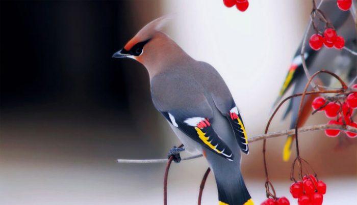 Обыкновенный свиристель фото