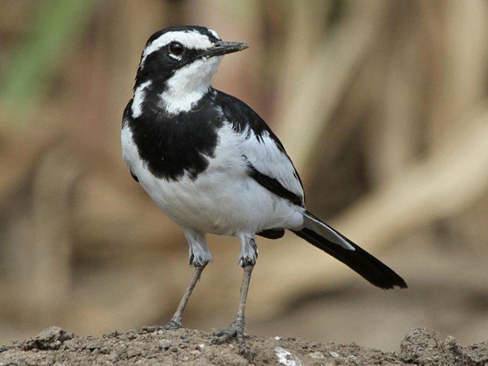 ᐈ птица трясогузка фото и описание как выглядит пение