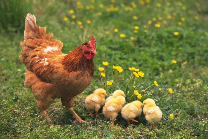 Выращивание цыплят фото