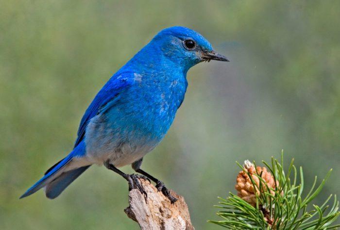 Сине-голубая горная зарянка фото