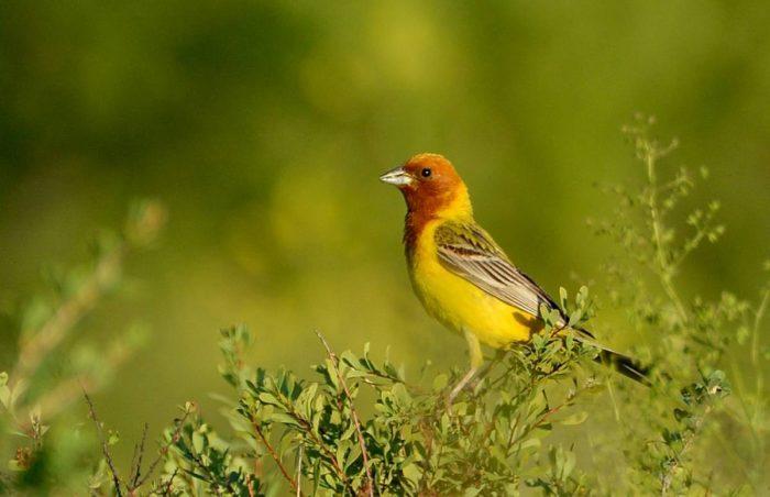 Желчная овсянка фото