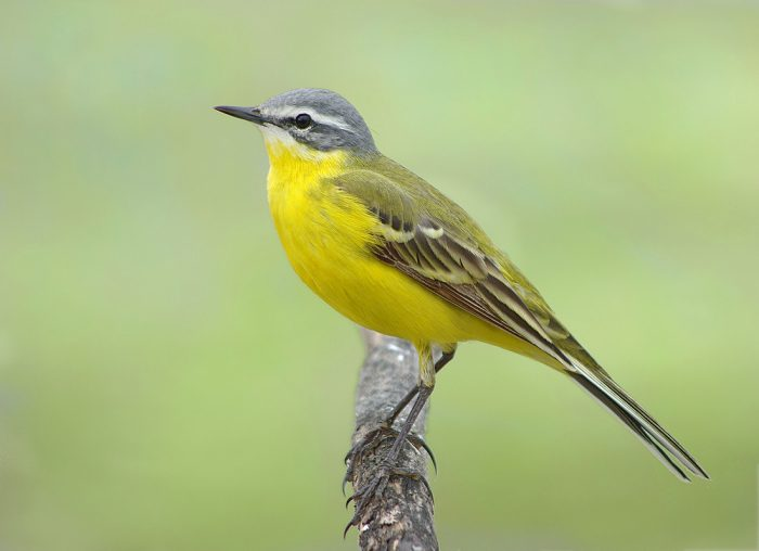 Жёлтая трясогузка фото