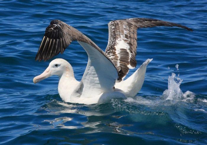 Амстердамский альбатрос фото