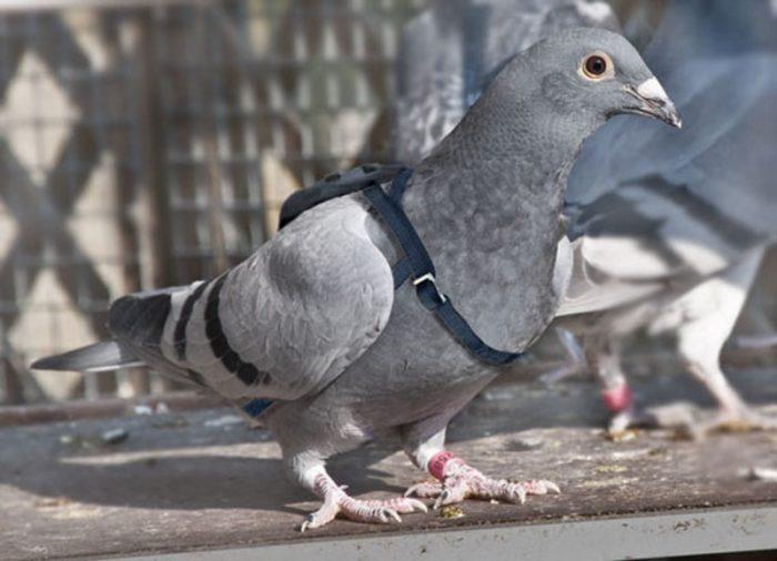 Бельгийский почтовый голубь фото