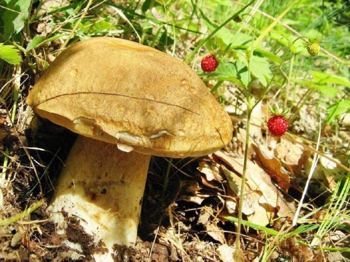 Боровик сетчатый (белый гриб дубовый) фото