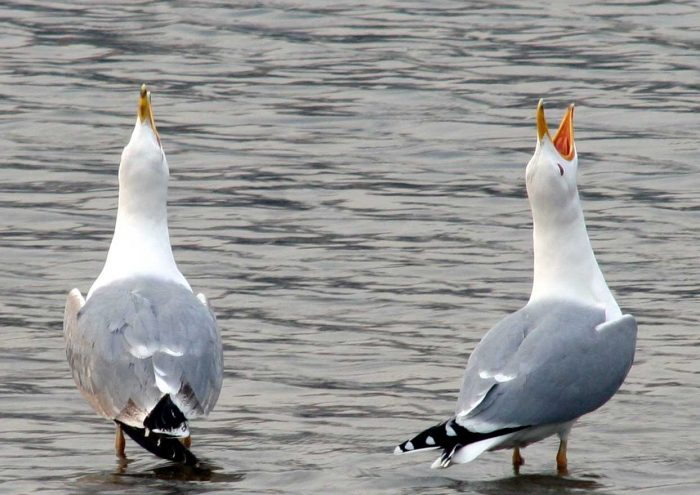 Хохотунья или степная чайка (Larus cachinnans) чайка
