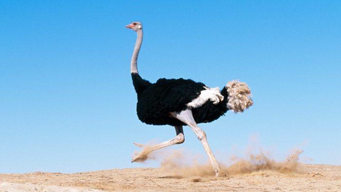 Черный африканский страус фото
