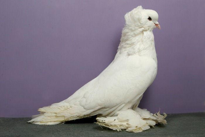 Декоративные голуби фото