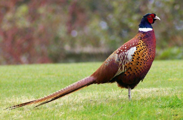Обыкновенный фазан фото