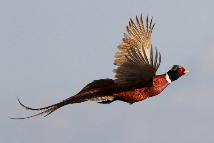 Охотничий фазан фото