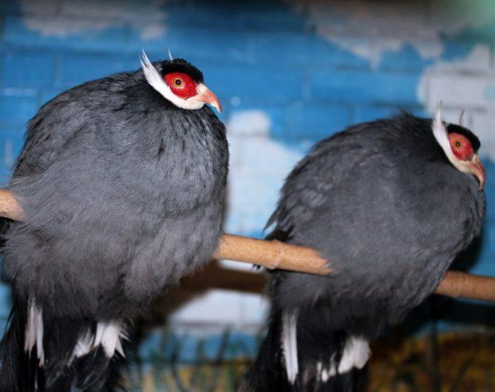 Ушастый фазан фото
