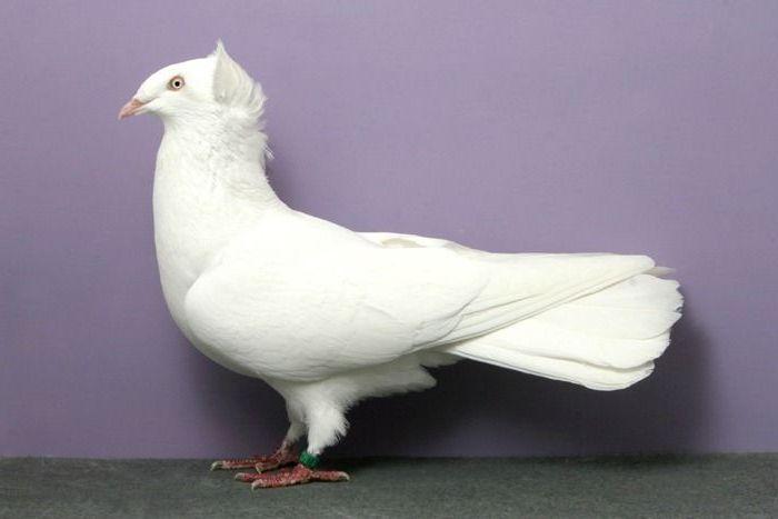 Гданьский высоколетный голубь фото
