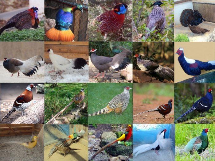 Классификация фазанов фото