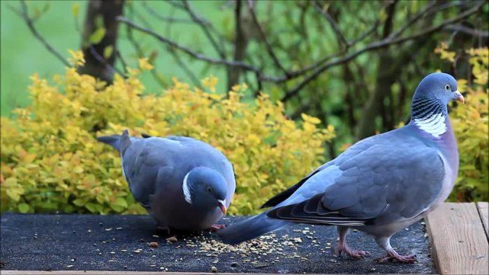Питание и кормление голубей фото