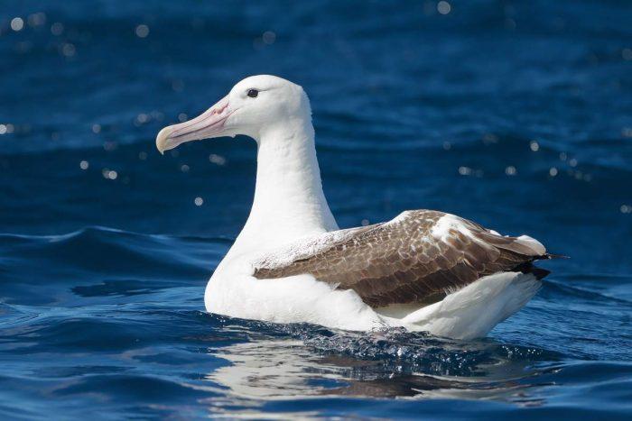 Королевский альбатрос фото