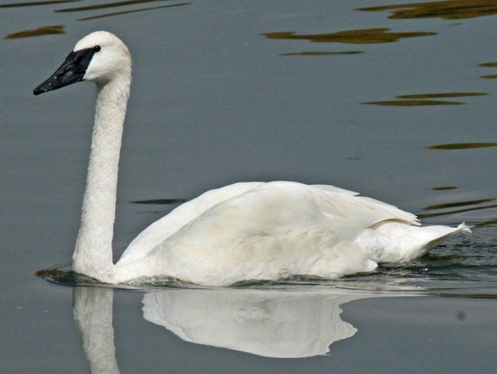 Лебедь-трубач фото