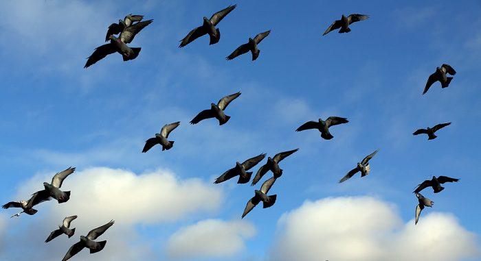 Летные голуби фото
