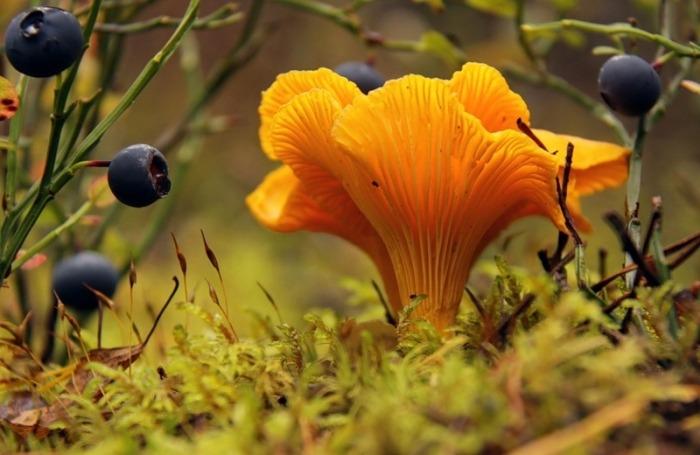 Грибы Лисички (Cantharēllus cibārius): информация, где растут, фото