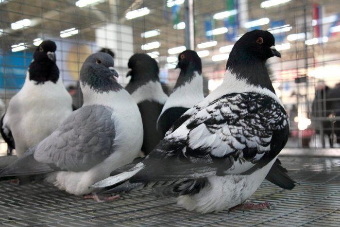 Мясные голуби фото