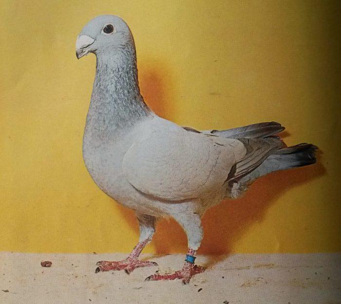 Немецкий выставочный голубь фото