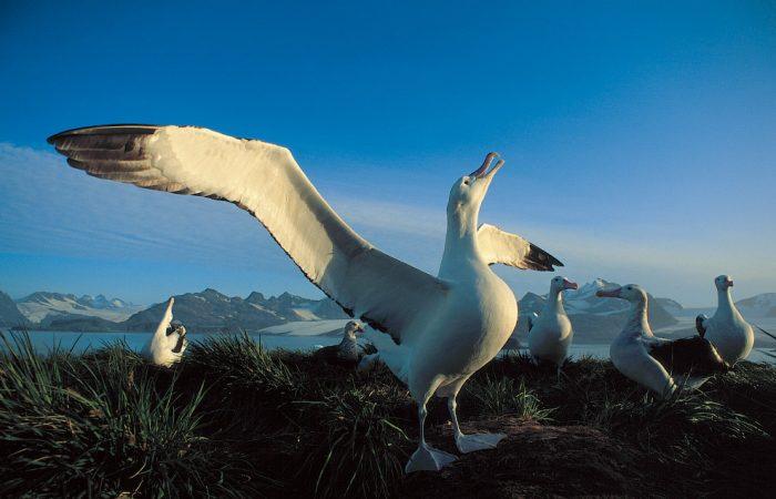 Описание альбатроса фото