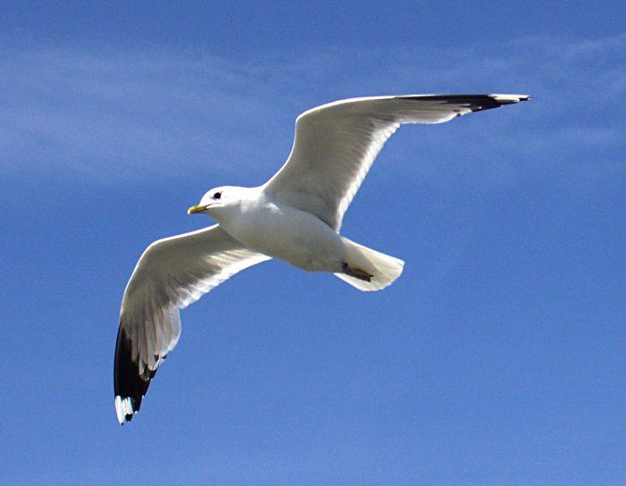 Описание чайки фото