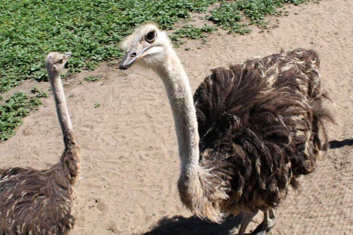Описание страуса фото