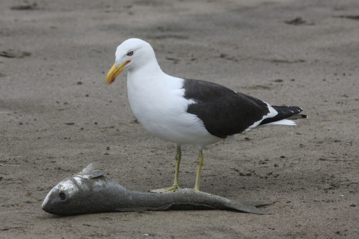 Особенности питания чайки фото