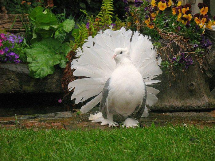Павлиний голубь фото