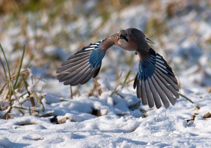 Перелётная или зимующая птица сойка фото