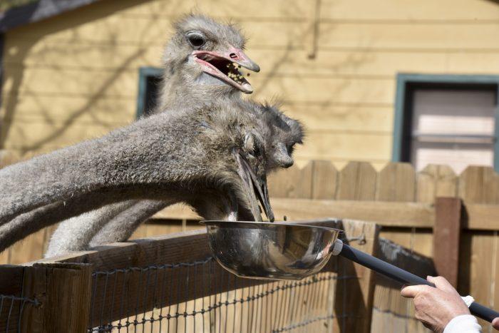 Питание и кормление для страуса фото