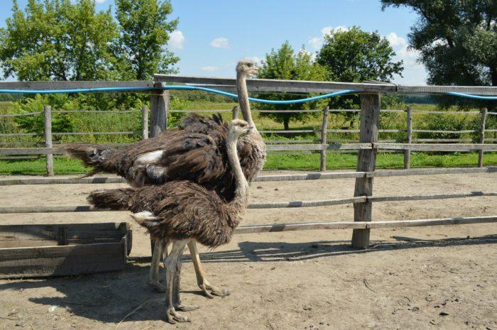 Происхождение и одомашнивание страуса фото