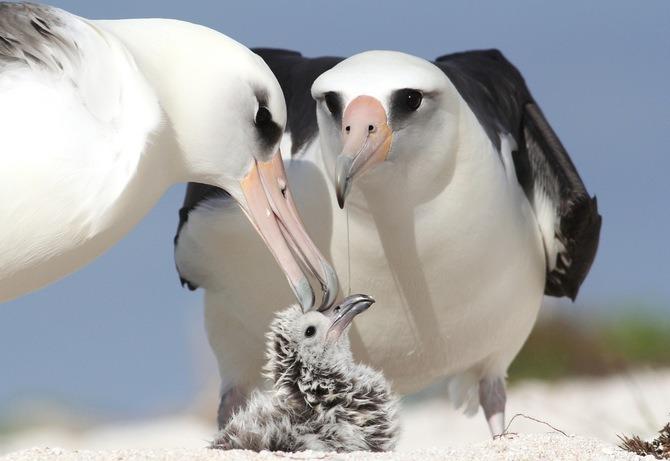 Размножение альбатросов фото