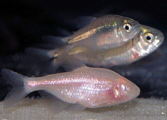 Размножение аситианаксов фото