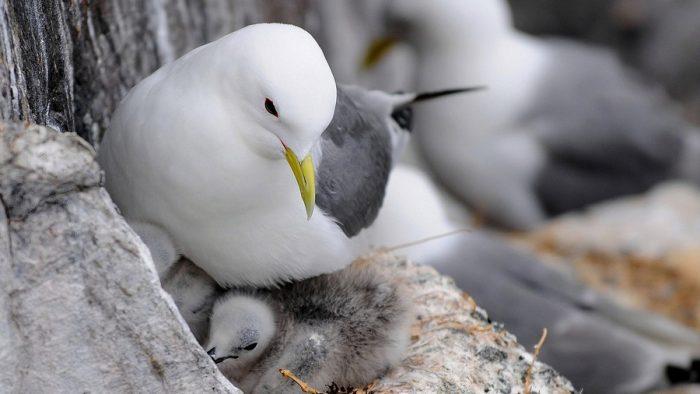 Размножение чайки фото