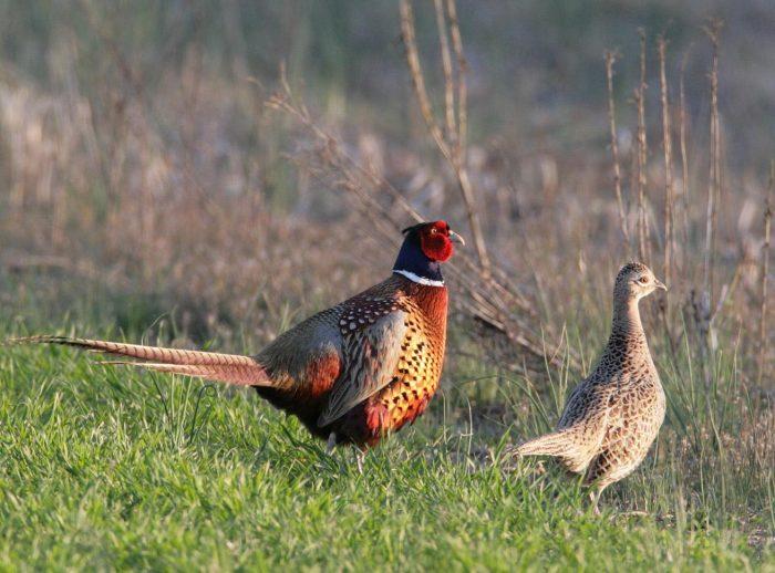 Разведение фазанов фото